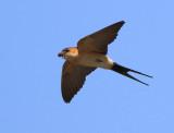 Red-rumped Swallow - Hirundo daurica