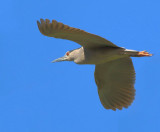 Night heron - Nycticorax nycticorax