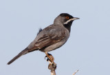 Ruppell;s Warbler - Sylvia ruppelli