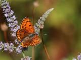 Lesser Fiery Copper - Lycaena thersamon (Female )
