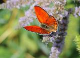 Lesser Fiery Copper - Lycaena thersamon (male)