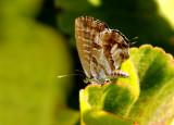Geranium bronze - Cacyreus marshalli
