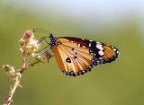 Plain's tiger - Danaus chrysippus,