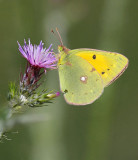 clouded yellow.- Colias croceus