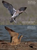 European (Numenius p. phaeopus) and  Hudsonian (Numenius hudsonicus) Whimbrel wing underparts