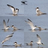 Least Tern - feeding young in shallow water  - UTC - Spring 2013