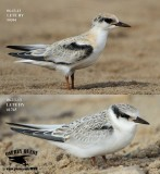 Least Tern - Fledglings - UTC - Spring 2013
