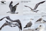 Summering Lesser Black-backed Gulls: UTC - June-July 2013 - examples