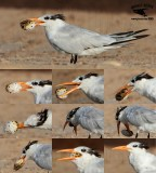 Royal Tern manipulating and swallowing tetraodontiform