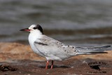 Common Tern HY - UTC - September 2, 2013