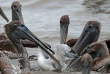 Brown Pelicans attacking Laughing Gull