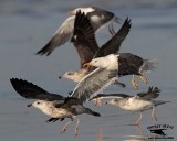 Lesser Black-backed Gull - flock of 27 birds - UTC - October 5, 2013