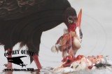 Turkey Vulture feeding on Caspian Tern and American Herring Gull carcasses