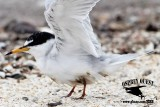 Least Tern - birds oiled during Galveston Bay oil spill