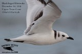 Black-legged Kittiwake - Upper Texas Coast - Texas City Dike - December 14, 2014