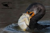 Double-crested Cormorant killing large catfish