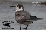 Black Tern - Upper Texas Coast - March 14, 2015 - my earliest spring record