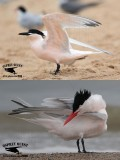 Cabot's and Royal Tern - pink flush - spring 2015