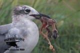 Laughing Gull with stolen embryo