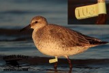 Red Knot - banded - flag TU3