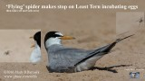 'Flying' spider makes stop on Least Tern incubating eggs