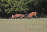 Combat de cerfs - red deer fight.JPG