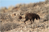 hyène brune - brown hyena
