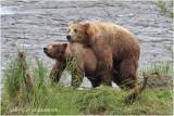 Accouplement ours bruns - Brown bear mating.JPG