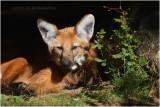 loup à crinière - maned wolf.JPG