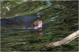 loutre géante - giant otter 2971.JPG