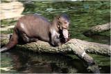 loutre géante - giant otter 2959.JPG