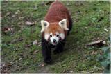 petit panda - lesser panda.JPG