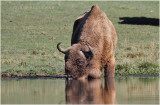 Bison dEurope - European bison 8624.JPG