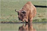 Bison dEurope - European bison 8626.JPG