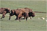 La charge des bisons !