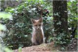 renardeau - fox cub_5946.JPG