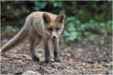 renardeau - fox cub_6003.JPG