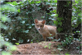 renardeau - fox cub 0162.JPG