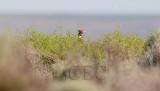 Pheasant spy, typical view    4Z052268.jpg