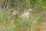 Chukar, mated pair, male stands gaurd while female feeds, Yakima River  1/4  _EZ71431 copy.jpg