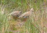 Chukar, mated pair, male stands gaurd while female feeds, Yakima River  2/4  _EZ71435 copy.jpg
