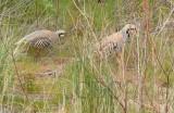 Chukar, mated pair, male stands gaurd while female feeds, Yakima River  3/4  _EZ71436 copy.jpg