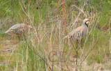 Chukar, mated pair, male stands gaurd while female feeds, Yakima River  4/4  _EZ71437 copy.jpg