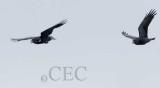 Crow breeding season flight display  _EZ32450 copy.jpg