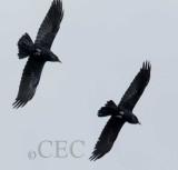 Crow breeding season flight display _EZ32451 copy.jpg