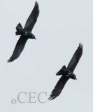 Crow breeding season flight display _EZ32452.jpg