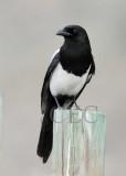 Black-billed Magpie  _EZ53209.jpg