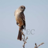 Say's Phoebe blowing back and forth in wind, Moses Lake  _EZ52543.jpg