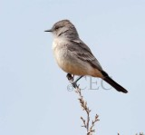 Say's Phoebe blowing back and forth in wind, Moses Lake  _EZ52561 copy.jpg