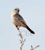 Say's Phoebe blowing back and forth in wind, Moses Lake  _EZ52565 copy.jpg